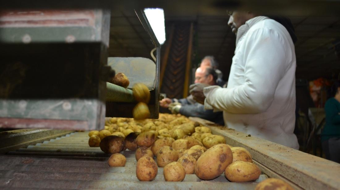 Full-Grown Potatoes Leave for Leeuwarden